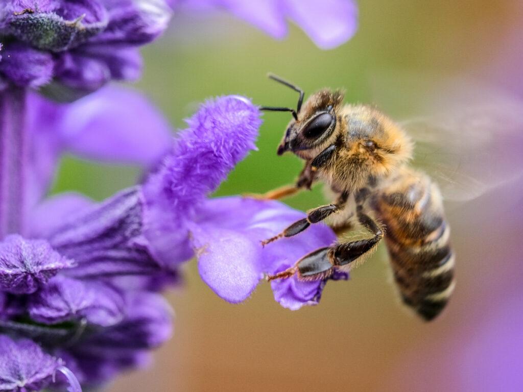 bee pollinating a flower; biodiversity area on biodynamic farm