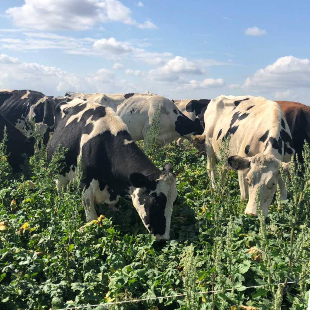 paris creek farms cows eating biodynamic crops grown on farm in the Adelaide Hills